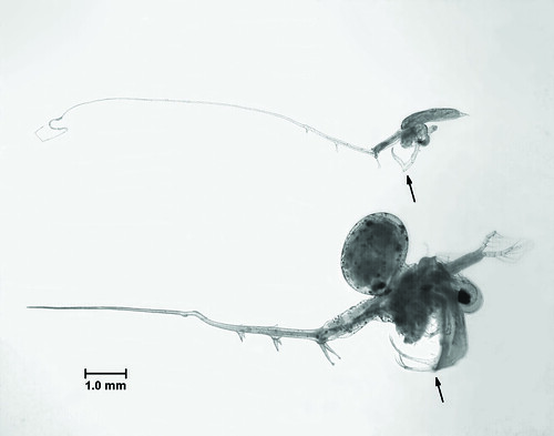 The fishhook waterflea (top) has an angled tail with a distinctive hook at the end, while the spiny waterflea (bottom) has a straight, barbed tail. These two aquatic invaders are native to seas near the Europe-Asia border and were likely transported to the Great Lakes in the ballast water of ships. ~courtesy NOAA Great Lakes Environmental Research Laboratory
