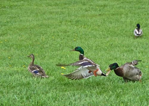 Duck dispute by ellenm1, on Flickr