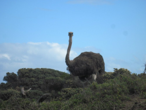Cape of Good Hope Ostrich
