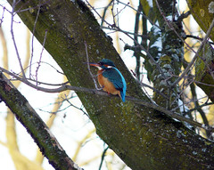 Hebbes (hajeb) Tags: winter bird kingfisher hengelo ijsvogel