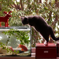 F = Fishtank (my moose, my fishes, my cat) (Frizztext) Tags: pet cats pets fish breakfast cat germany square aquarium chats emily katten goldfish interior gatos moose galleries fishtank quotes fishes  katzen gatti quotation lichtenberg standbyme emilydickinson 500x500  honoredebalzac politicalcorrectness frizztext
