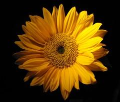 ~ heavenly Sunshine bright~ (^i^heavensdarkangel2) Tags: light flower macro sunshine yellow closeup dark lite fuji darkness yellowflower sunflower heavenly onblack yellowsunflower macrolicious sunshineyellow fujifilmfinepix3800 heavensdarkangel sunshineflower macromarvels excellentflowers macroflowerlovers mimamorflowers theenchantedcarousel awesomeblossoms desbahallison heavenlyspecial colorfulcolorfado heavensdarkangel2