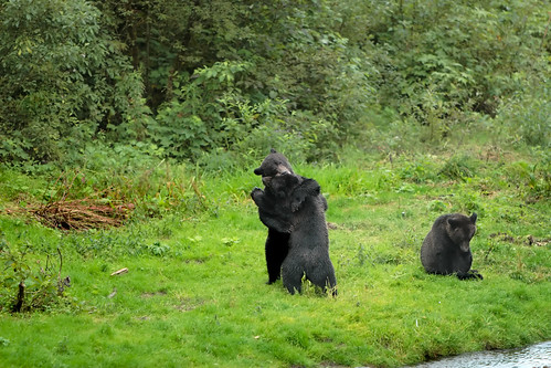 Black colored Alaskan Coastal Brown bear cubs.....1