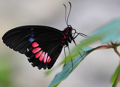 Black red and blue beauty (Kuya D) Tags: blue red black macro nature butterfly nikon dof bokeh 105mm pinoykodakero nikond300 justwasted