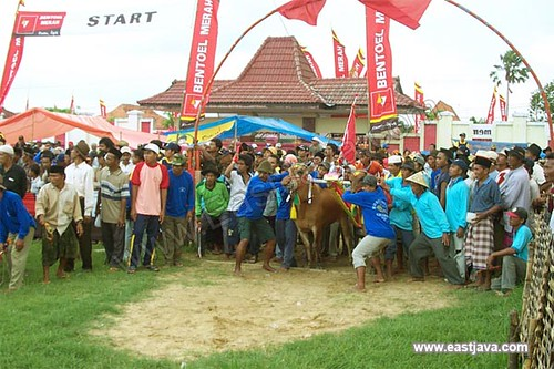 Bull Race - Madura - East Java