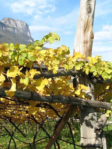 Der Gerüstbau im Weinbau ist eine Jahrhunderte alte Tradition im Überetsch