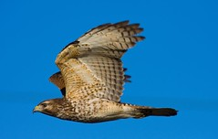 Viera Wetlands (Nature Photos by Scott) Tags: bird nature florida hawk wildlife birding soe birdsofprey watcher blueribbonwinner broadwingedhawk supershot specnature mywinners vierawetlands anawesomeshot floridabirdmagazine