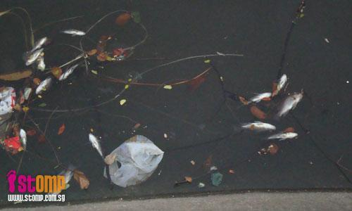Why so many dead fish in Rochor River?