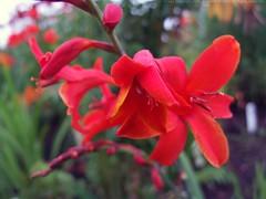CROCOSMIA x crocosmiiflora 'Gloria'