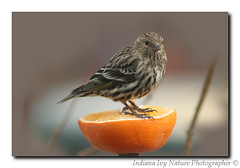 Orange You Cute ! (Indiana Ivy Nature Photographer) Tags: birds backyard ivy indiana explore 2009 finest natures naturesfinest pinesiskins vosplusbellesphotos