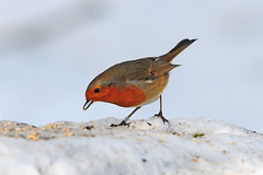 Robin, Erithacus rubecula, Feeding in the Snow, Bilham Wood, South Yorkshire (Steve Greaves) Tags: winter red food orange brown snow bird english fall nature robin woodland garden countryside woods birdseed feeding erithacusrubecula bokeh eating wildlife band aves ring naturalhistory british snowing feed common distillery europeanrobin ringed avian songbird hedgerow doncaster redbreast southyorkshire banded passerine cockrobin nikond300 bestofbritishnature nikonafsii400mmf28ifedlens bilhamwood