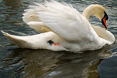 Le Cygne (KY-Photography) Tags: park uk ontario canada reflection bird water animal scotland swan pond victoriapark nikon glasgow ky wildlife guelph gb ripples nikkor khalid mute allrightsreserved kal lanarkshire explored d80 nikond80 18135mmf3556g kyphotography