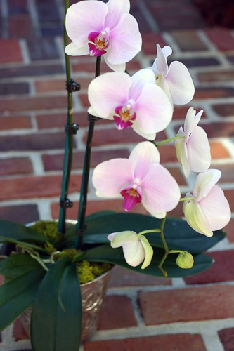 Phalaenopsis Orchid by you.