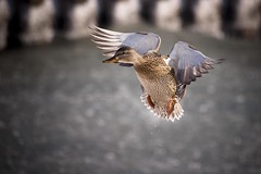 In Flight (Insight Imaging: John A Ryan Photography) Tags: toronto ontario duck flight aficionados pentaxk10d justpentax wwwinsightimagingca johnaryanphotography