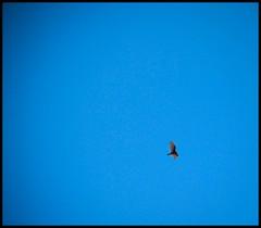 Fly on Blue High. (Malinkrop) Tags: chile blue bird azul fly nikon ave pajaro 1855 chw d40 malinkrop