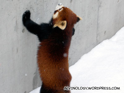 Desperate red panda which fell into a moot and couldnt get out