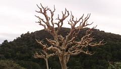 Murve (girix2008) Tags: nature croatia priroda brac hrvatska treesubject povlja