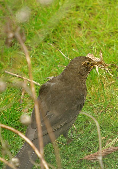 Blackbird nesting