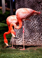 Flamingos (sirca1) Tags: madrid colour bird nature animal zoo spain twins wildlife cristina flamingo arquimbau