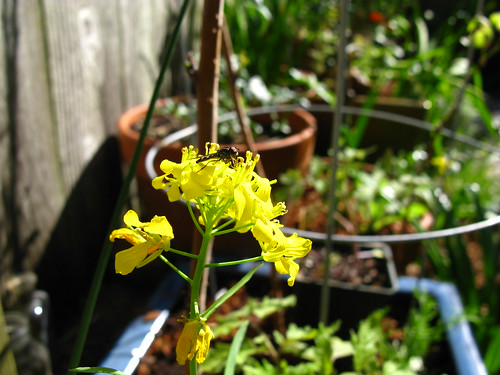 mustard + Syrphidae