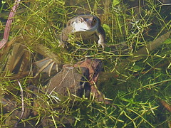 Mad March Frogs (lokivolemangler) Tags: spring frogs spawn