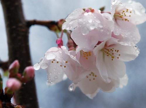 Cherry Blossom - 4/1/09 - crop