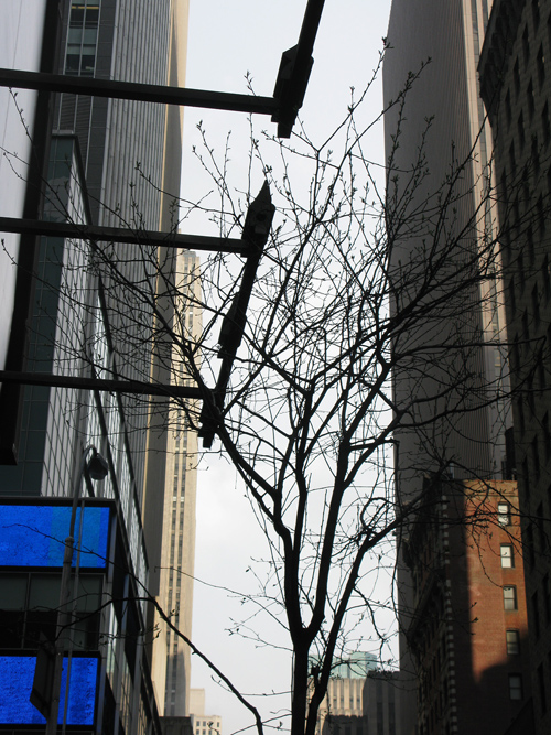 midtown tree with buildings, Manhattan, NYC