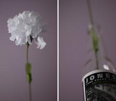simple things (alonis) Tags: white flower jones petals bottle stem purple soda jonessoda carnation