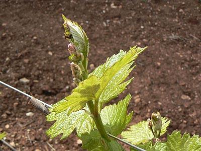 jeunes feuilles de vigne.jpg