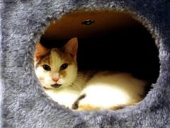 Kitten Nest (Kaptain Kobold) Tags: white house cat furry kitten tortoiseshell pandora oval myfave scratchingpost kaptainkobold yourfave