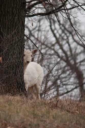 An Argonne White deer