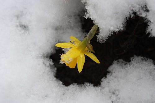Daffodil Snow