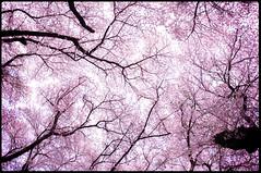 SAKURA (Masahiko Kuroki (a.k.a miyabean)) Tags: sakura pentaxk20d