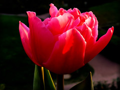Tulpe (elbfoto) Tags: pink light shadow red sunlight white black flower color macro green art nature beautiful season natur fuchsia blumen tulip tulpe rubyphotographer thebestofmimamorsgroups