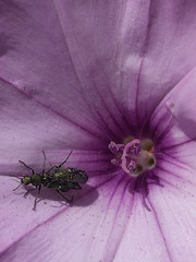 Tornasol-1 (mgarsan) Tags: flores flower macro primavera 50mm spring olympus granada e3 zuiko printemps málaga carchuna uro zd50mm semanasanta2009 escarabajotornasol