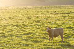 This Cow Looks Nice... (Lisa Bettany {Mostly Lisa}) Tags: california light sunset orange field yellow golden cow farm pasture petaluma unprocessed 85mmf18 canonxti