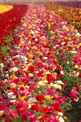 Flower Fields050 (PACsWorld) Tags: sandiego ranunculus carlsbad flowerfields carlsbadca