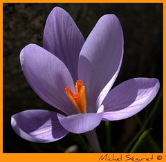 Award Macro en folie- Photo Crocus de Michel Séguret pour le Monde Végétal&quot ;