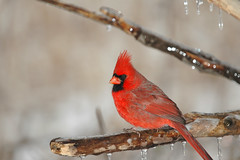 Cardinalis cardinalis (rdodson76) Tags: northern cardinal cardinalis winter ice storm nature climate cold icy frost fauna frigid wildlife wild bird watching birding hobby beauty contrast song wilderness perch rest cute male red colorful pretty environment habitat conservation one daylight