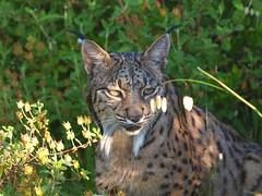 Lynx pardinus ( Lince ibérico , Iberian Lynx ) (diegocon1964) Tags: lynx naturesfinest ibérique iberianlynx lynxpardinus linceibérico