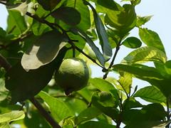 Pairr (Konkani: ) (dinesh_valke) Tags: tree peru evergreen tropical guava amba myrtaceae bihi runi psidiumguajava myrtlefamily jamrukh appleguava goyyapandu koyya pairr pungton peyara amrood amrud guaiavapyriformis guajavapyrifera psidiumfragrans psidiumpyriferum psidiumpomiferum psidiumsapidissimum psidiumaromaticum jaamkal kawim kwlthei madhuriaam pearaley peerakka uyyakkontan