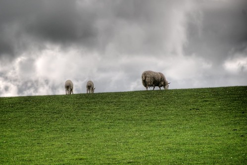 Sheep of Wicklow