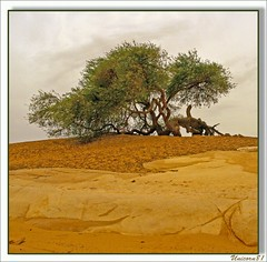(852) Akazie / ancient tree / desert / egypt (unicorn 81) Tags: africa old travel plants tree sahara nature trekking landscape geotagged nationalpark sand desert northafrica egypt egyptian egipto 2009 gypten egitto egypte reise egypten rundreise roundtrip egipt gypte mapegypt whitedesert misr nordafrika egypttrip libyandesert april2009 gypten deserttour aegyptus unicorn81  whitedesertnationalpark gyptusintertravel gyptenreise schulzaktivreisen nationalparkweisewste nationalparkwhitedesert wstenreise meinjahr2009