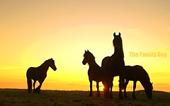 silhouette horses (The Family Dog) Tags: horses horse silhouette caballo cheval fries ameland pferde pferd equine chevaux paard paarden equines friese friesche pferden friesische professionalequineimages