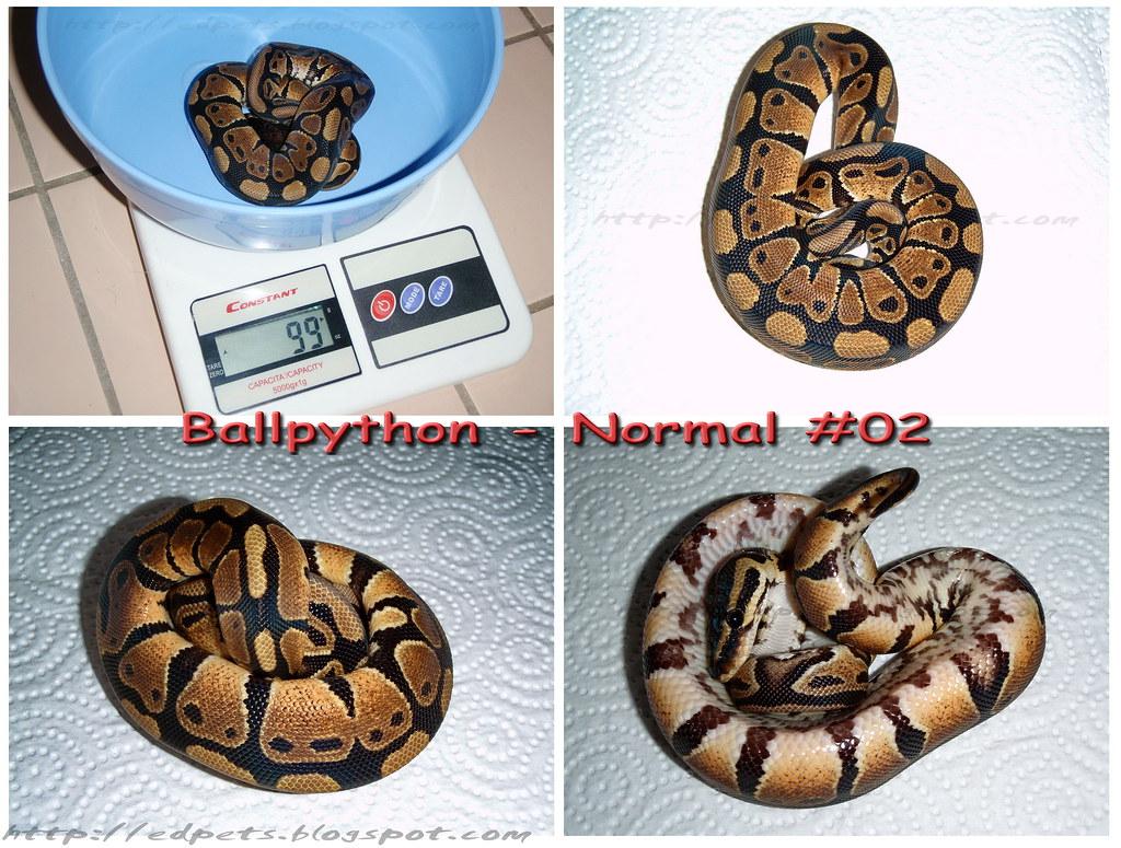 EdPets_2009-05-21_Ballpython4Sale_#02