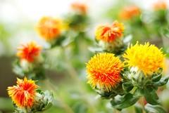 Thistle  (Mel@photo break) Tags: orange plant flower macro green dof bokeh thistle mel melinda 50mmf18  chanmelmel