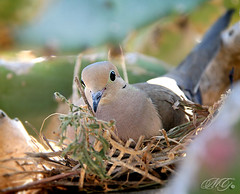 Mourning Dove in Nest (Marcie Gonzalez) Tags: california park ca old wild cactus plants plant hot green bird history home nature beautiful up birds animal gardens closeup cacti canon wonderful garden photography daylight succulent wings san day sitting close desert mourning nest dove wildlife wing feathers feather large parks diego sunny visit location hidden southern greens sit twig destination historical gonzalez balboa visiting twigs deserts succulents marcie doves balboapark nesting protected balboaparksandiego marciegonzalez marciegonzalezphotography