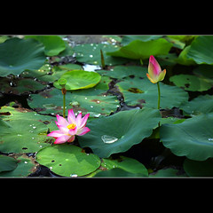 You and Me (JannaPham) Tags: life new morning pink flower macro green dedication canon wow garden eos golden spring pretty friendship lotus bokeh young vietnam teacher master beginning 5d thursday saigon hochiminhcity markii project365 82365 happygorgeousgreenthursday hggt jannapham tranthaohien asia phoasen