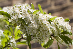 Blooming (Tess_) Tags: white flower green london moving hegg leav may09 oldfieldroad
