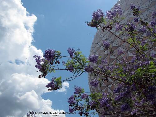 IMG_0952-WDW-EPCOT-Jacaranda-tree